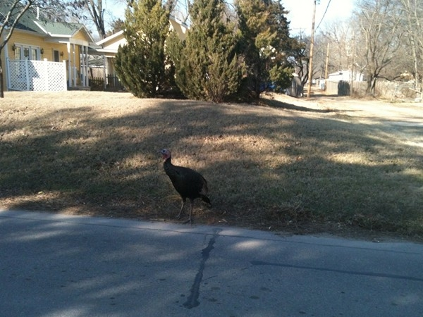 Wild turkey hangs out inside city