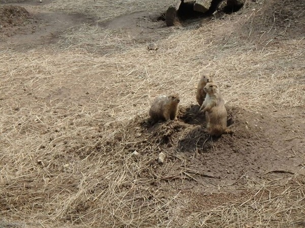 Prairie Dogs at David Traylor Zoo. So cute