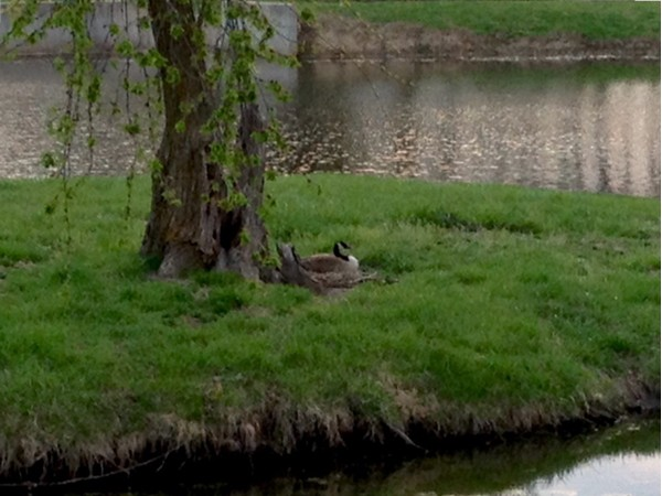 Canadian geese are sitting on their nests at the park... Soon we will be seeing baby geese!