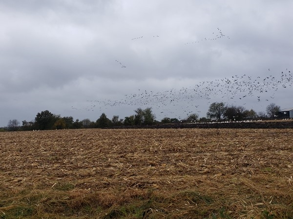 Geese flying in to Maple Leaf Conservation area on this snowy day in October
