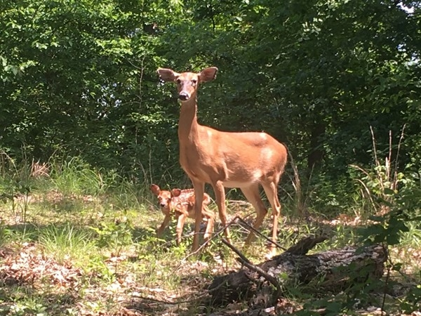 New baby fawn born at Lake of the Ozarks