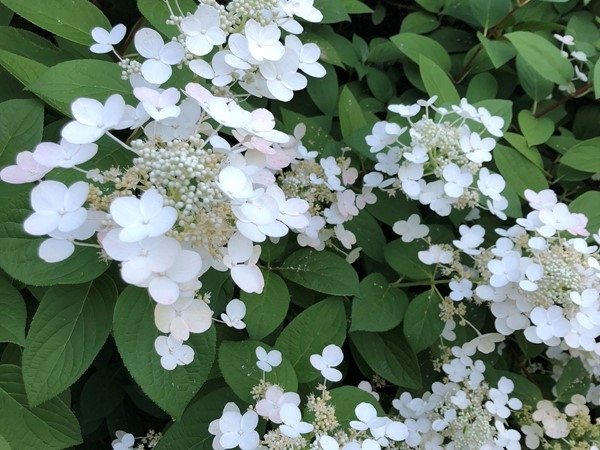 Porto Cima has gorgeous blooming hydrangeas