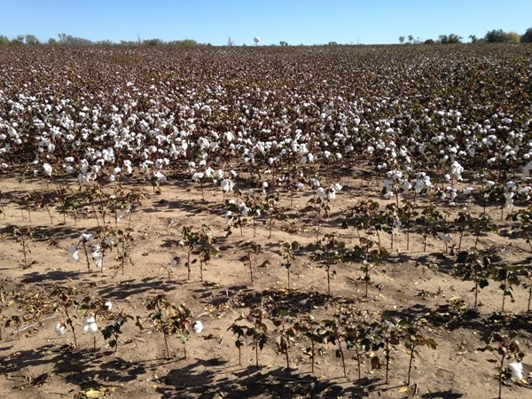 Yes, cotton growing in Kansas just east of Derby