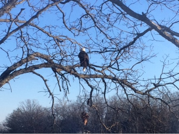 Bald Eagle is ready for spring, as he sits wishing for warmer weather in Osage Beach