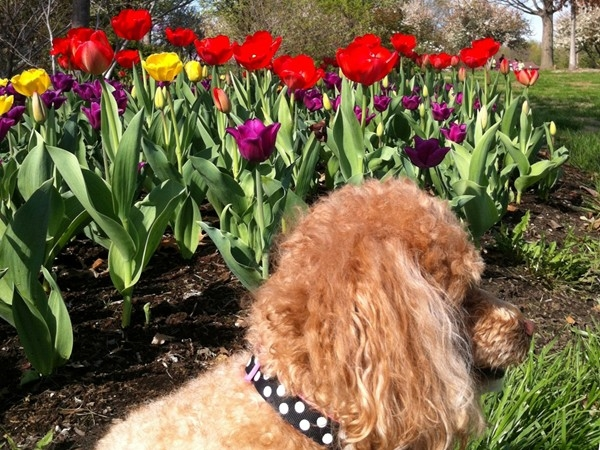 Ms. Emmy enjoying tulip time