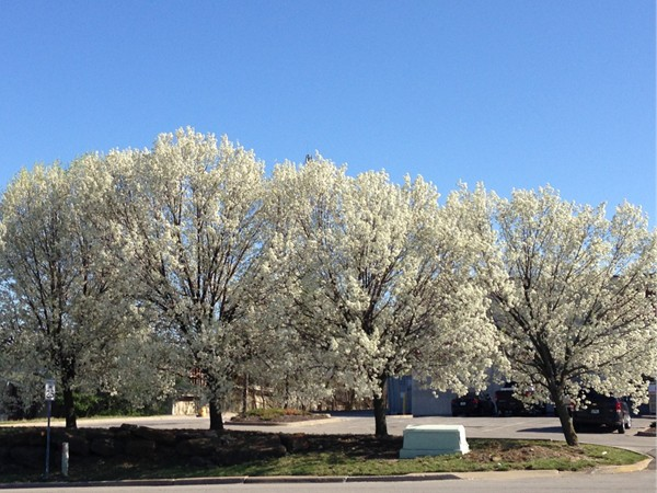 Bradford Pear trees are some of the first to bloom