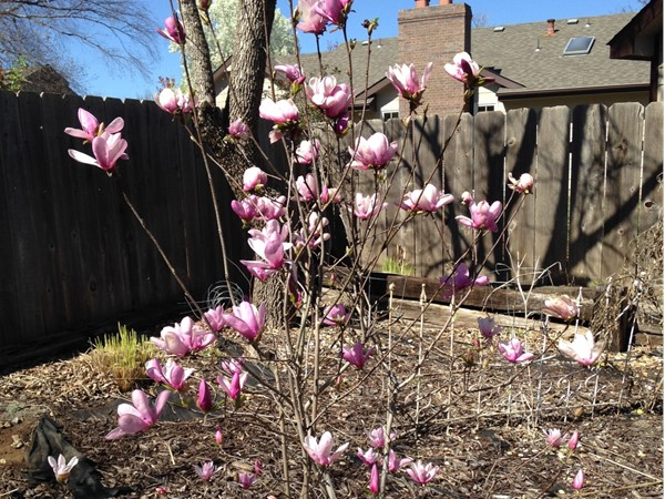 Spring is early, Jane Magnolia is in bloom