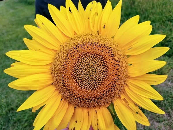 Sunflower at Grinter Farm