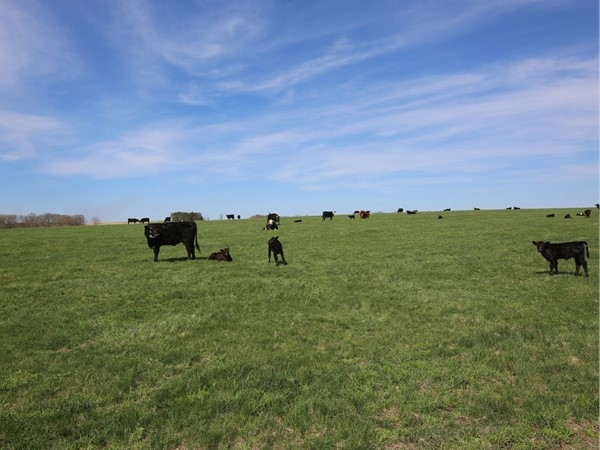 Cattle ranches in the Ozarks.  Come here to live the affordable country life