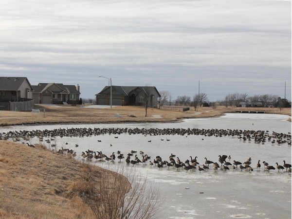 Wildlife such as Canadian geese, white herons and other bird species can be enjoyed here.