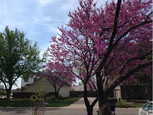 The vivid color of the red bud tree is incredible
