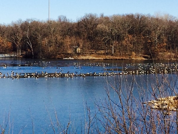 The geese are enjoying this warm winter day at Lake Remembrance
