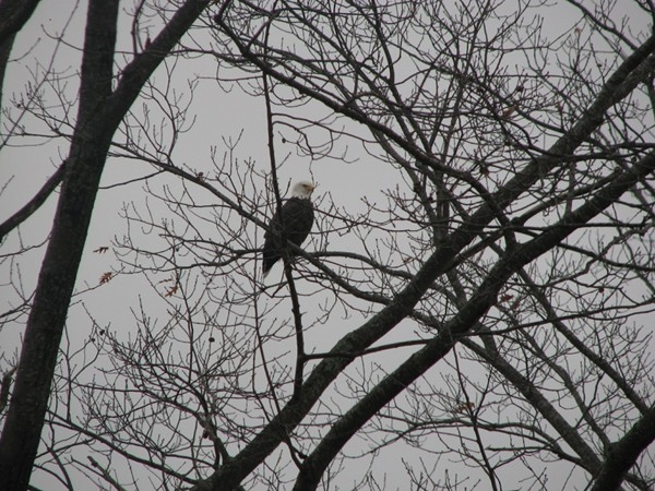 An Eagle sighting from my window in Osage Beach. This is nature at its finest.