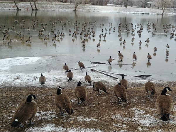 The geese at Lion's Lake are enjoying the icy conditions from the 2019 ice storm