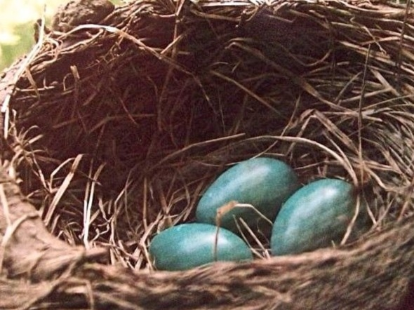 A beautiful nest of eggs laid by Missouri's state bird, the bluebird, welcomes the warmth of summer
