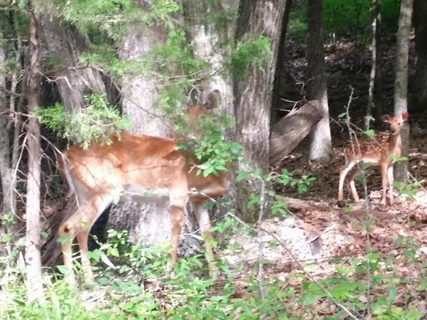 This whitetail deer family is often seen near the Mark Twain National Forest north of Forsyth