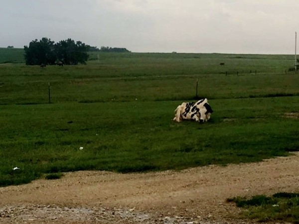 One of the many Holstein dairy cows located at the popular Hildebrand Dairy Farm