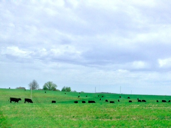 Black Angus cattle grazing in the countryside just north of Odessa.