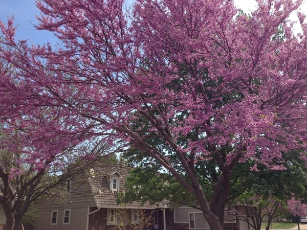 The native red bud trees were beautiful this year despite a late freeze